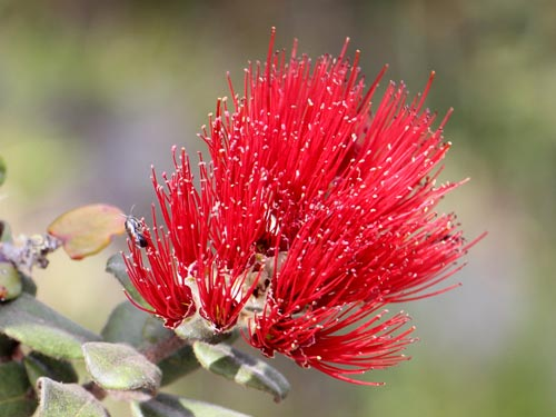 'Ōhi'a (ohia), photo by J.B. Friday