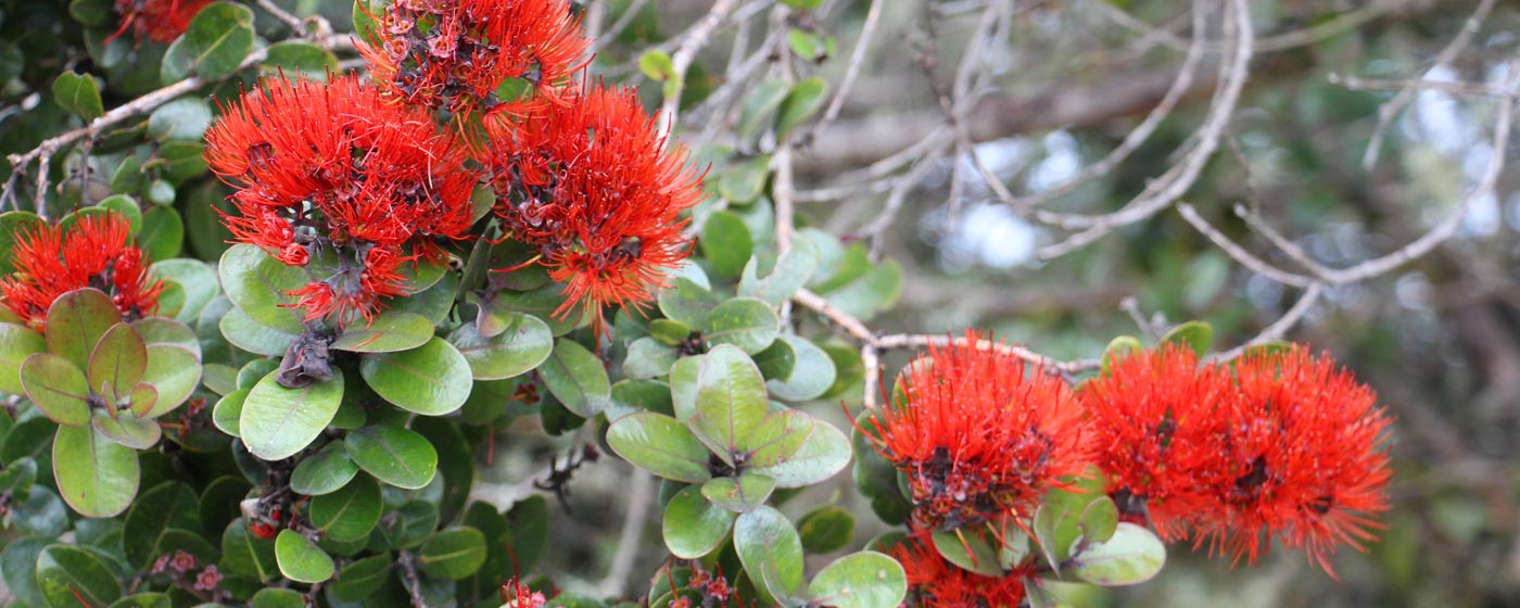 The Lehua flower of the 'Ōhi'a Tree. Photo by J.B. Friday