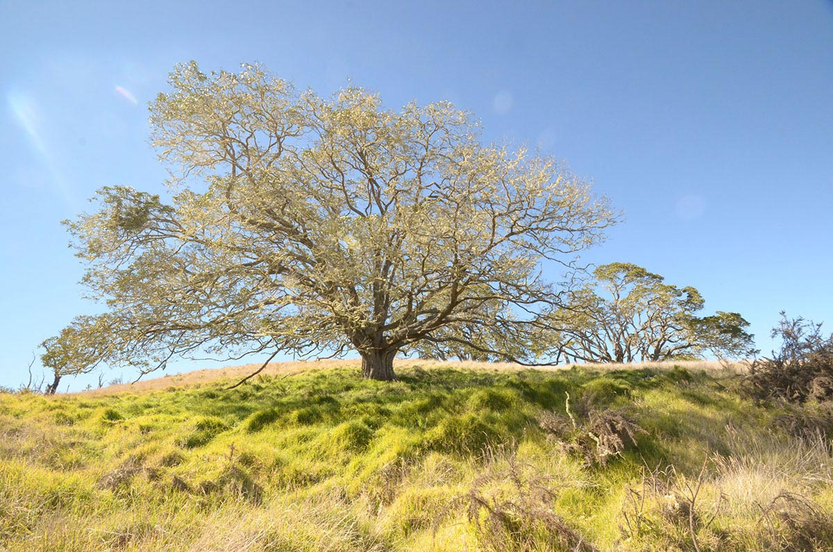 Acacia koa defoliation by wind. Photo by Rob Shallenberger