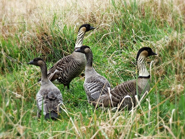 Nene (Branta sandvicensis). Photo by Dean Masutomi