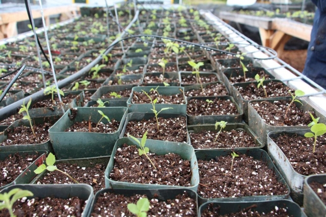 Newly transplanted seedlings. Photo by J. B. Friday