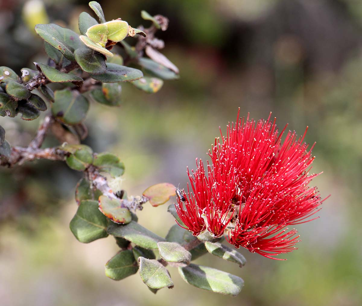 'Ōhi'a (ohia). Photo by J.B. Friday