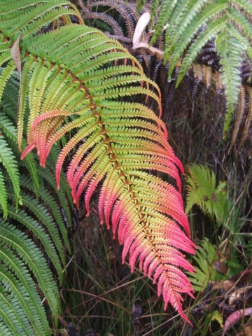 'Ama'u ferns. Photo by J. B. Friday
