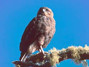 'Io or Hawaiian hawk | Endangered Birds in Hawaii