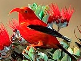Iiwi in the news | Endangered Birds in Hawaii