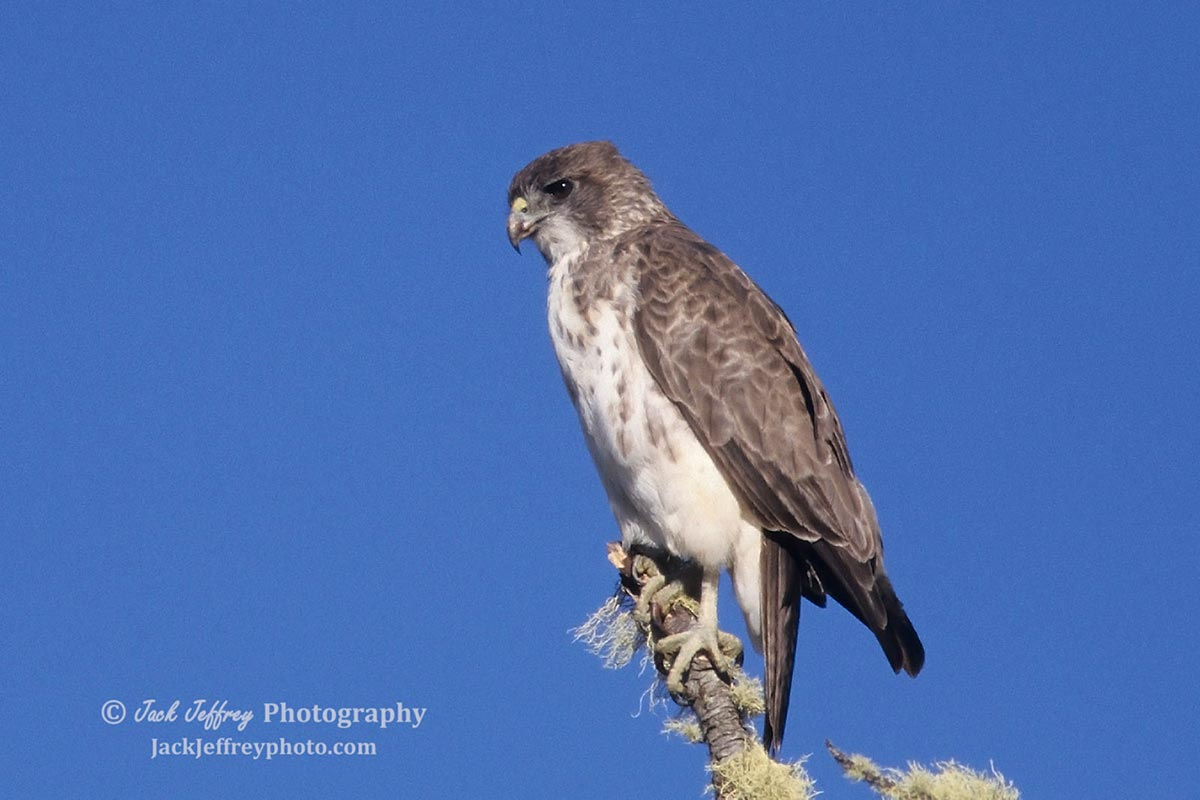 Hawaiian Hawk. Photo by Jack Jeffery